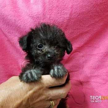 Chihuahua Poodle Mix Puppies For Sale