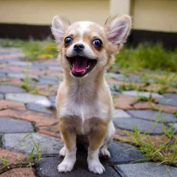 Chihuahua Pros And Cons