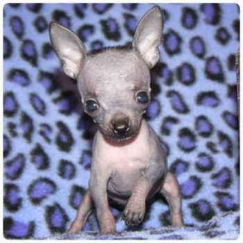Chihuahua Puppies Austin