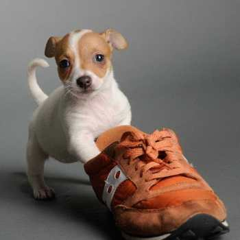 Chihuahua Puppies Baton Rouge