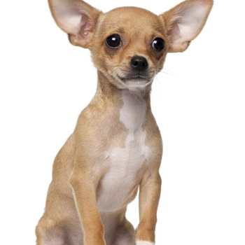 Chihuahua Puppies Behavior