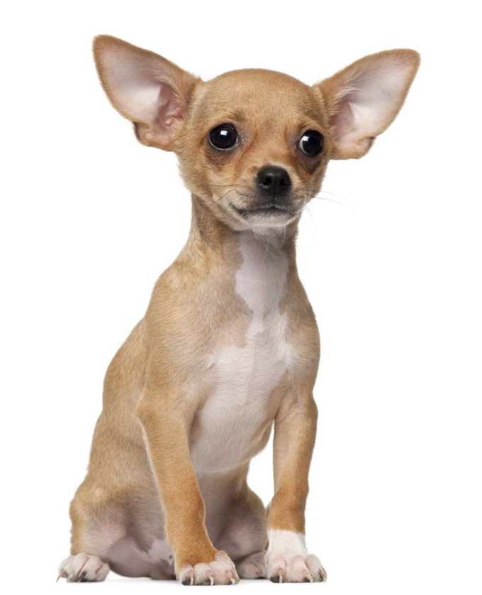 Chihuahua Puppies Behavior