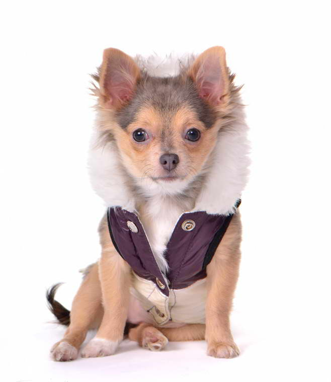 Chihuahua Puppies Clothes