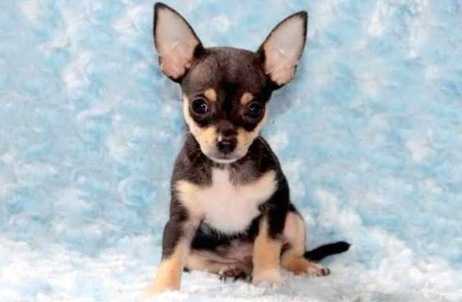 Chihuahua Puppies For Adoption In Pa