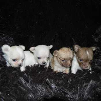 Chihuahua Puppies For Sale California