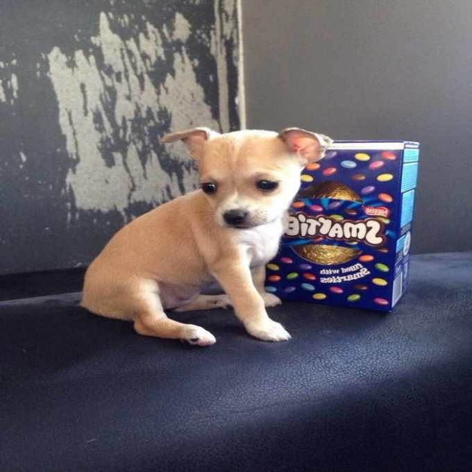 Chihuahua Puppies For Sale Colorado