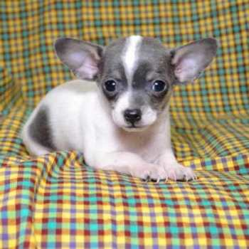 Chihuahua Puppies For Sale Columbus Ohio