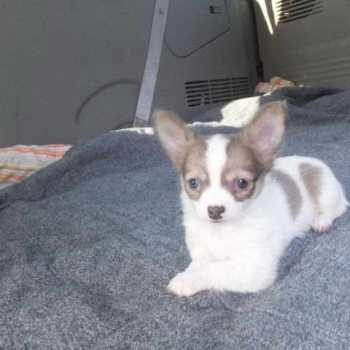 Chihuahua Puppies For Sale Dayton Ohio