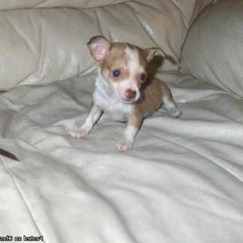 Chihuahua Puppies For Sale In Birmingham Al