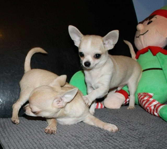 Chihuahua Puppies For Sale In Cincinnati