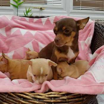 Chihuahua Puppies For Sale In Colorado Springs