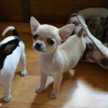 Chihuahua Puppies For Sale In Minnesota