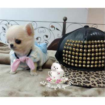 Chihuahua Puppies For Sale In San Antonio Texas