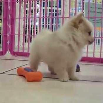 Chihuahua Puppies For Sale In Savannah Ga