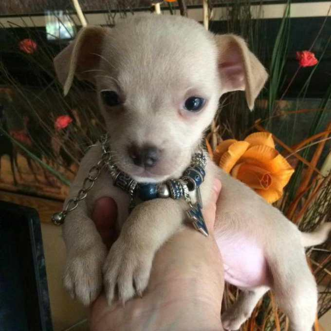 Chihuahua Puppies For Sale In Wv