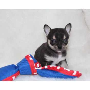 Chihuahua Puppies For Sale Missouri