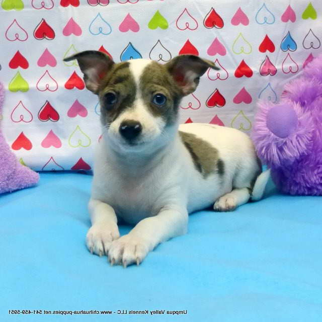 Chihuahua Puppies For Sale Oregon