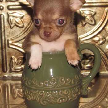 Chihuahua Puppies For Sale Rochester Ny