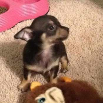 Chihuahua Puppies For Sale Sacramento