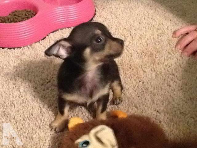 Chihuahua Puppies For Sale Sacramento