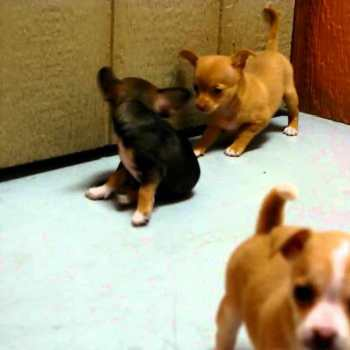 Chihuahua Puppies For Sale San Diego