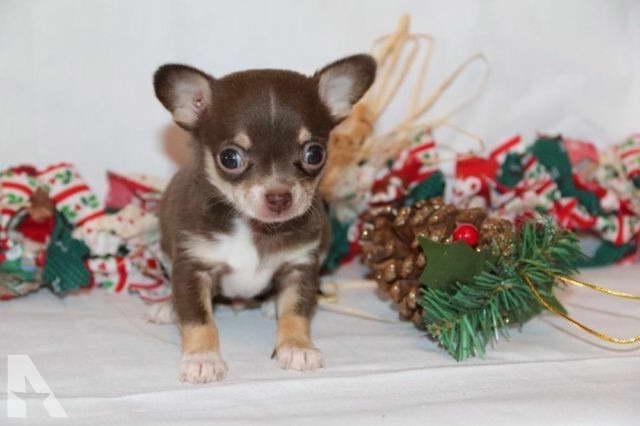 Chihuahua Puppies In Michigan