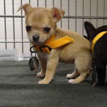 Chihuahua Puppies Missouri