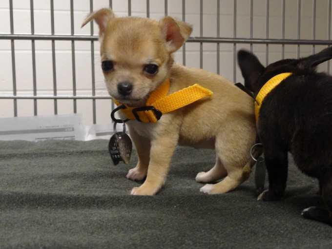 Chihuahua Puppies Missouri