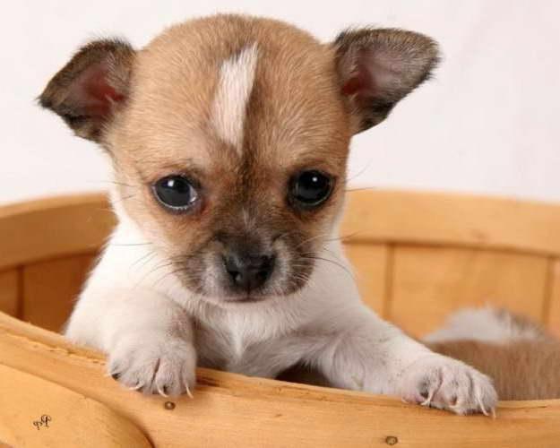 Chihuahua Puppies Ohio