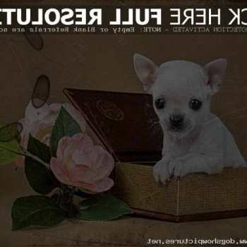 Chihuahua Puppies On Craigslist
