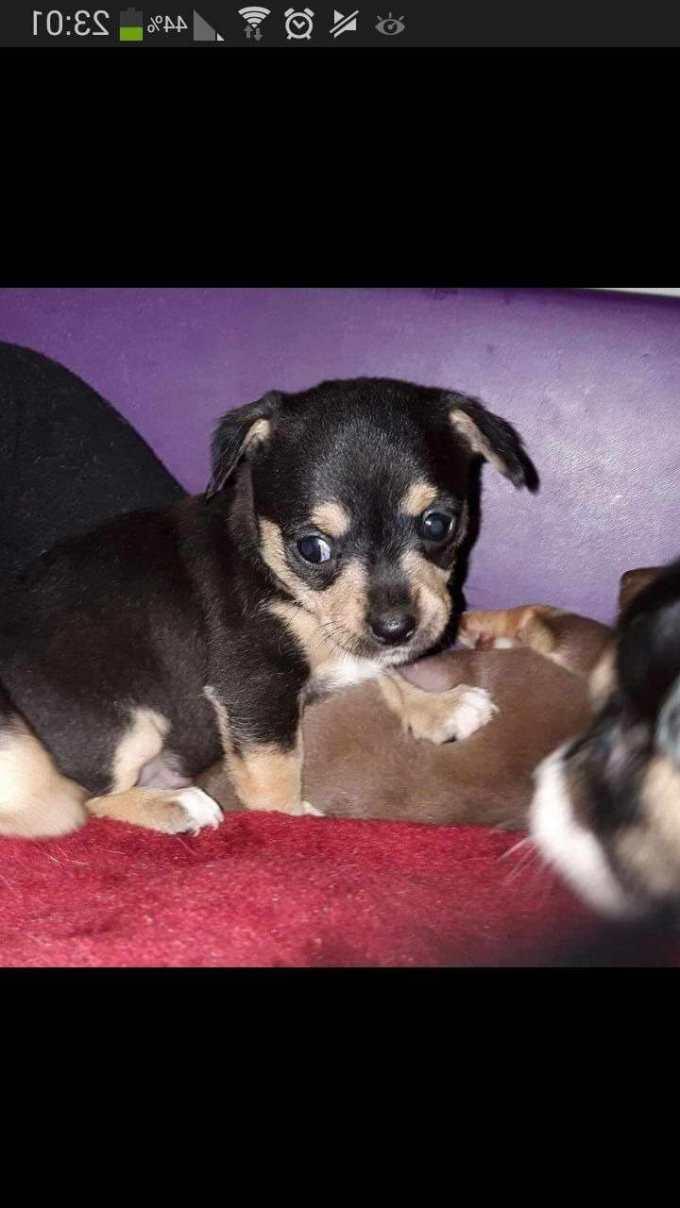 Chihuahua Puppies Pittsburgh