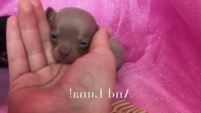 Chihuahua Puppies Raleigh Nc