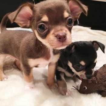 Chihuahua Puppies Sale