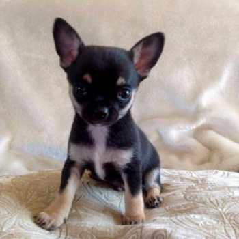 Chihuahua Puppies Tampa