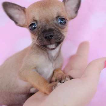 Chihuahua Puppies Teacup
