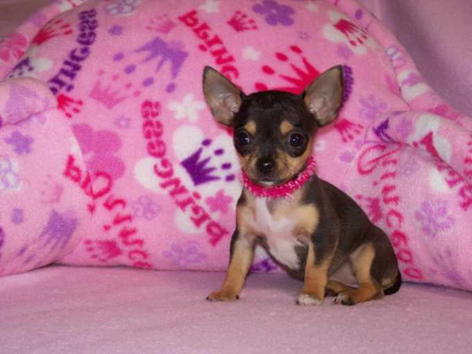 Chihuahua Puppies Toys