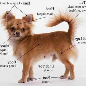 Chihuahua Puppies Training