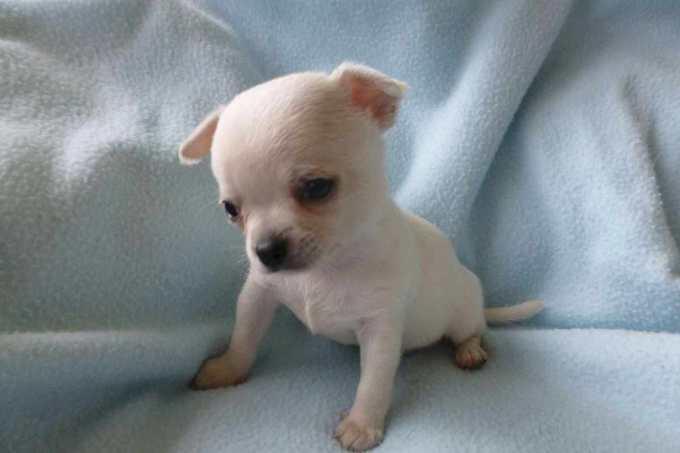 Chihuahua Puppy Adoption