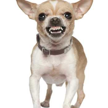 Chihuahua Puppy Biting