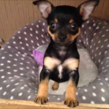 Chihuahua Puppy Black And Tan