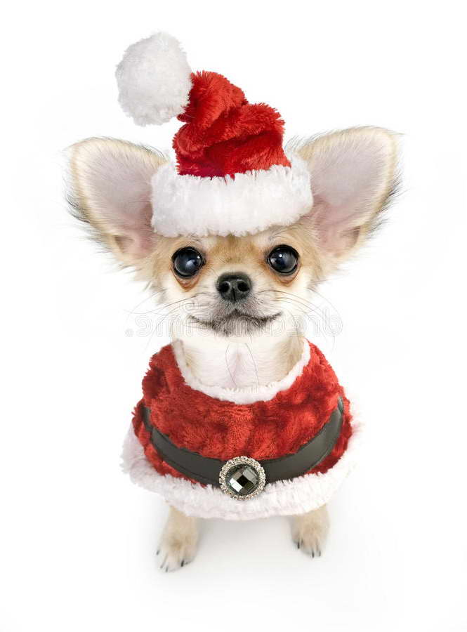 Chihuahua Puppy Costumes