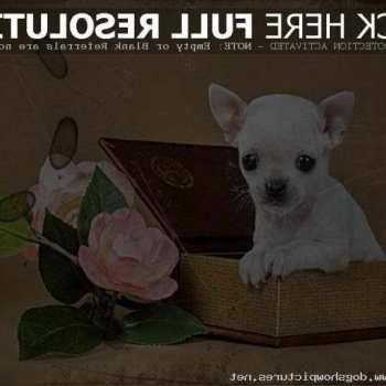 Chihuahua Puppy Craigslist