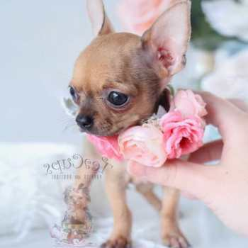 Chihuahua Puppy For Sale Florida