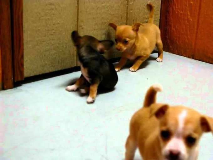 Chihuahua Puppy For Sale In California