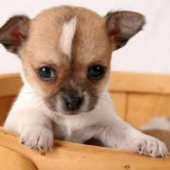 Chihuahua Puppy Ohio