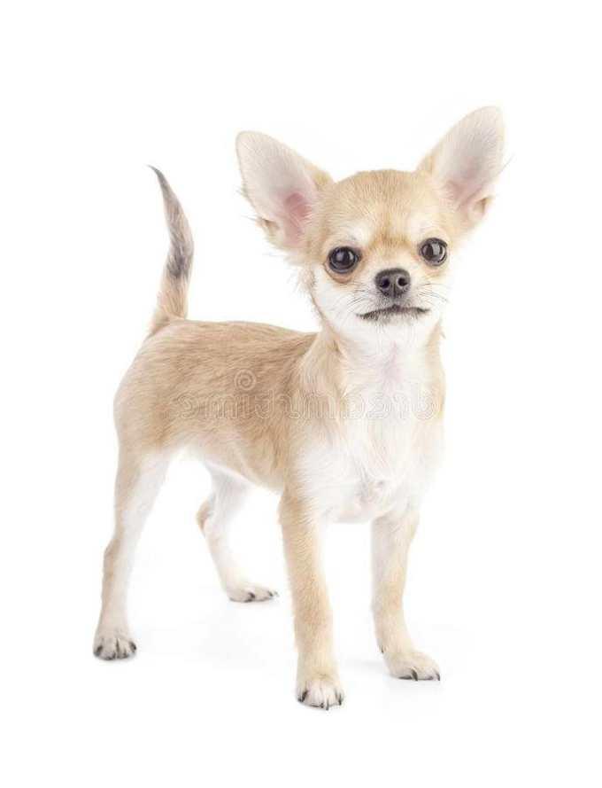 Chihuahua Purebred