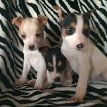 Chihuahua Rat Terrier Mix For Sale