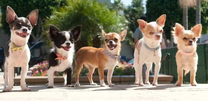Chihuahua Rescue Bay Area