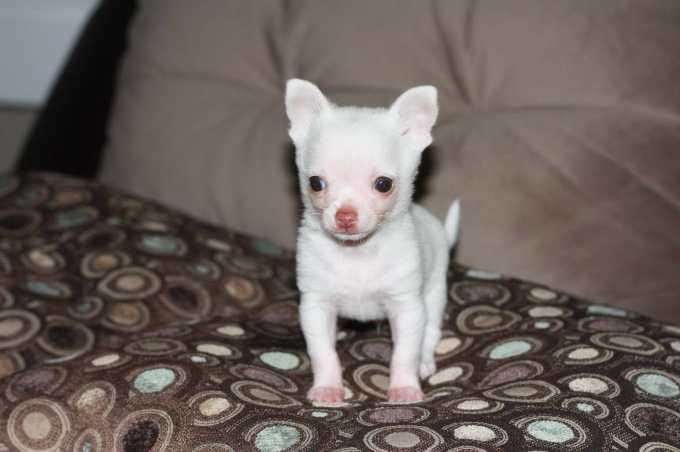 Chihuahua Rescue Ct