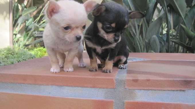 Chihuahua Rescue Knoxville Tn